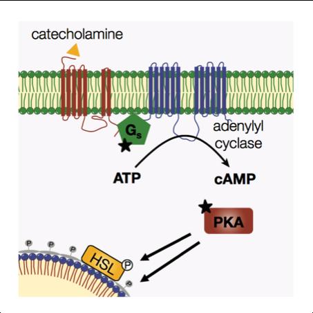 catecholamine