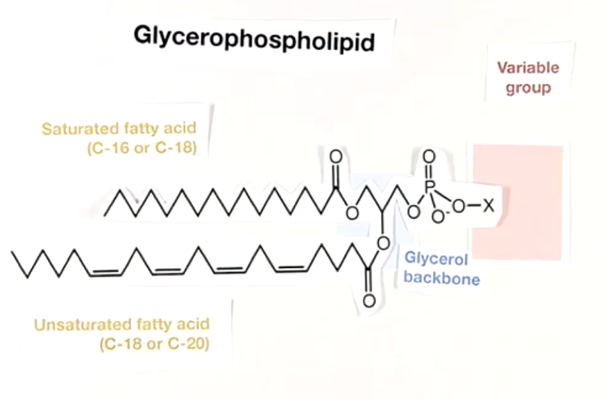 glycerophospholipid