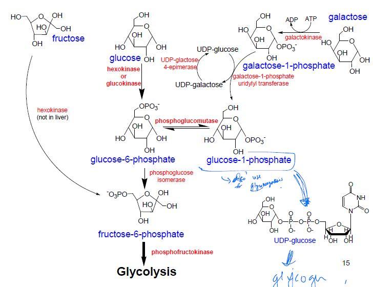 glycogen synth
