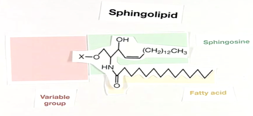 sphingolipid