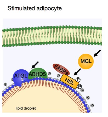stimulatedadipocyte