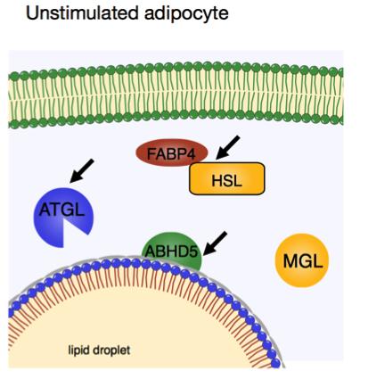 unstimulatedadipocyte