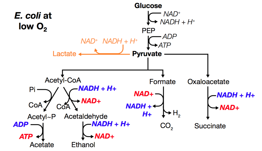Variable pathways in e.coli