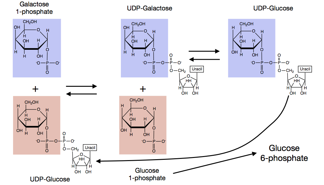Galactose entering glycolysis. From class lecture slide. All rights HarvardX/EdX.