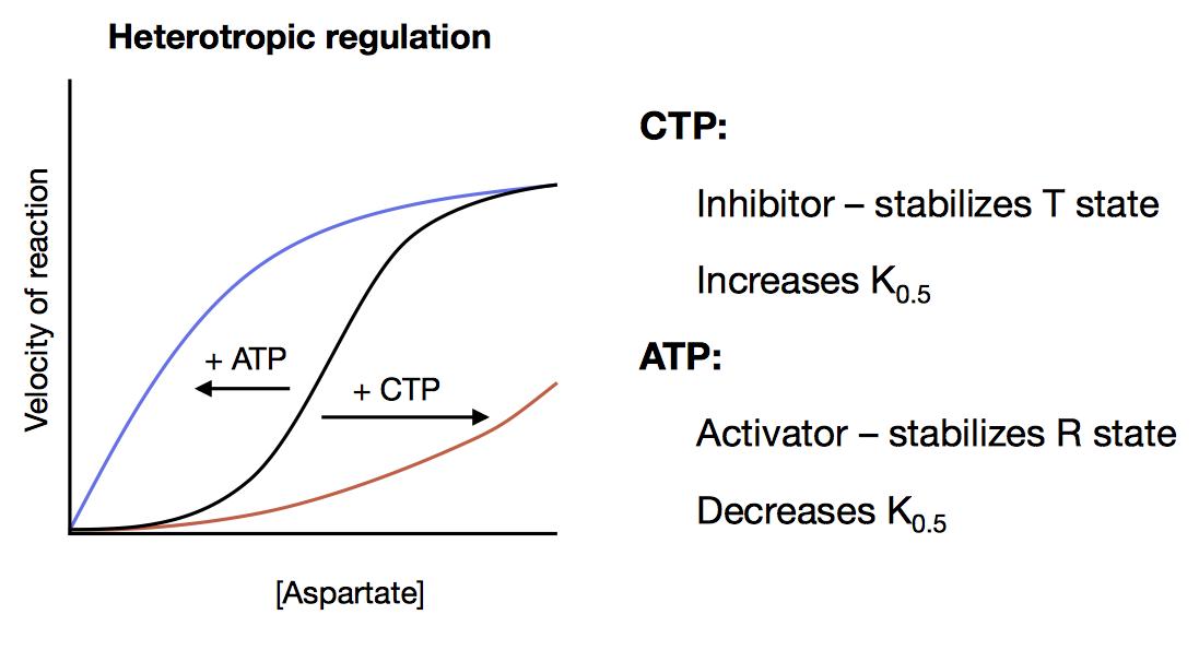 Allosteric CTP ATP
