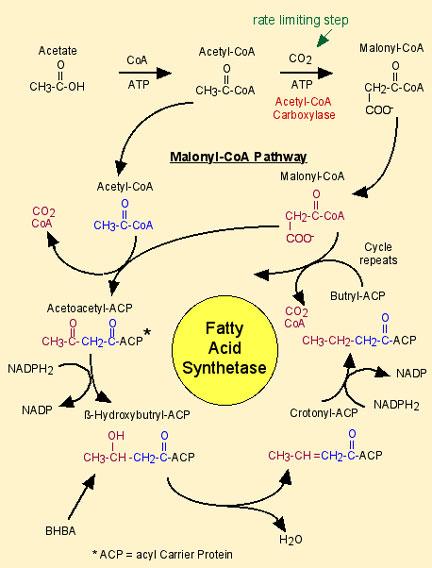 http://ansci.illinois.edu/static/ansc438/Milkcompsynth/milksynth_fatfasynthesis.html